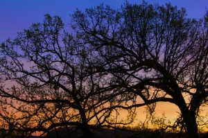 Oak Trees at Dawn